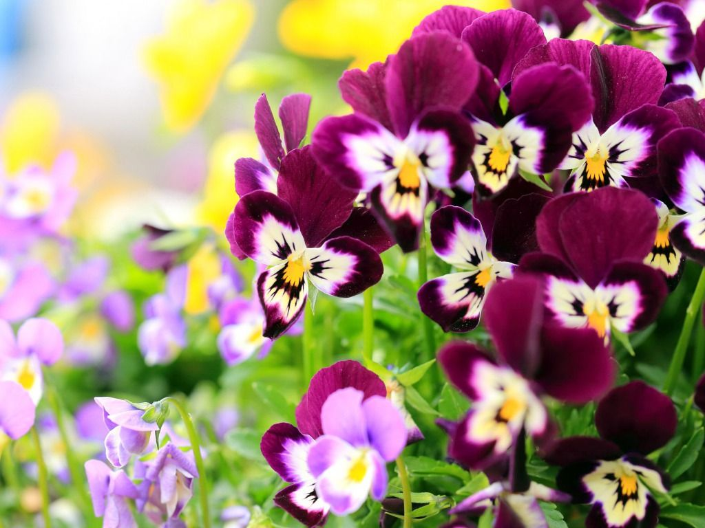 Pansy Flowers Wallpapers HD Pictures – One HD Wallpaper Pictures ...