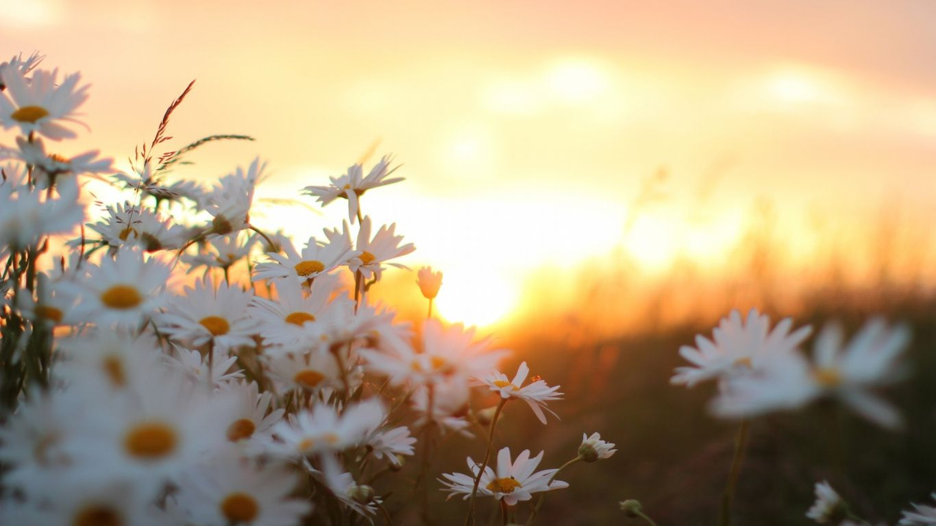 Morning Daisy Flowers Hd Images