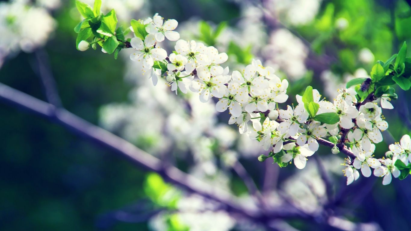 Download HD Spring White Flowers Wallpaper | WallpapersByte
