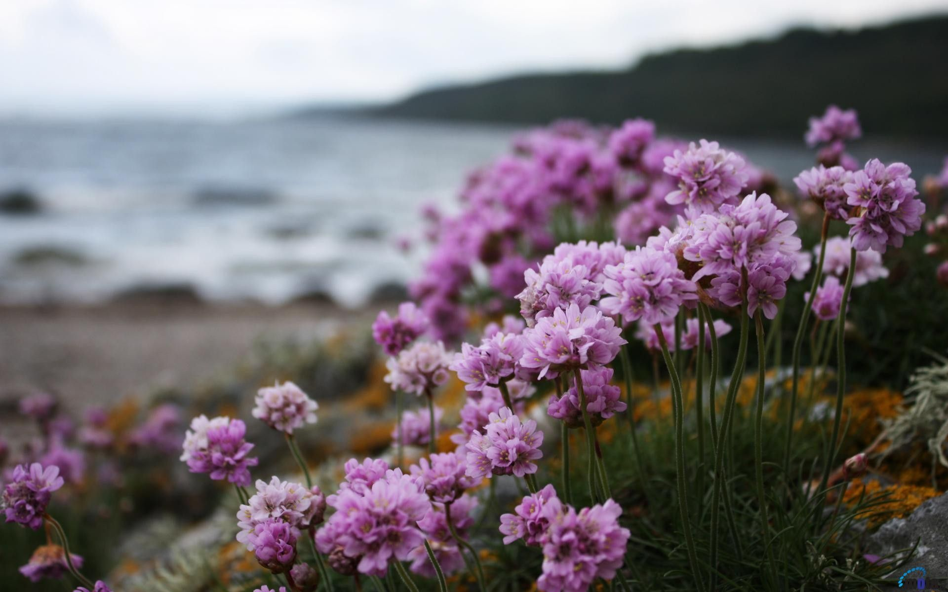 Flower: Beach Beaches Lilacs Flowers Nature Lilac Flower Wallpaper ...