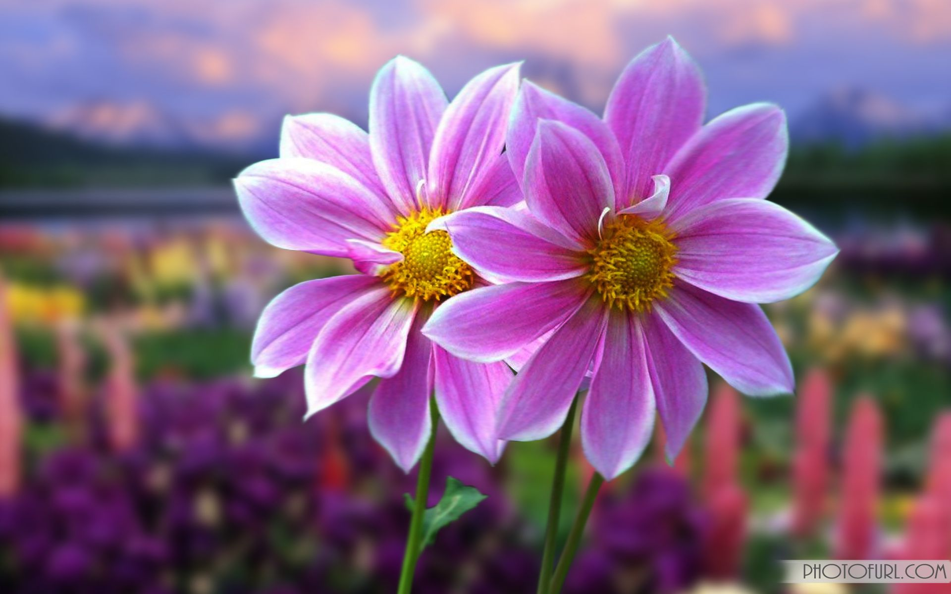 most beautiful flowers animated wallpapers animated flower laptop ...