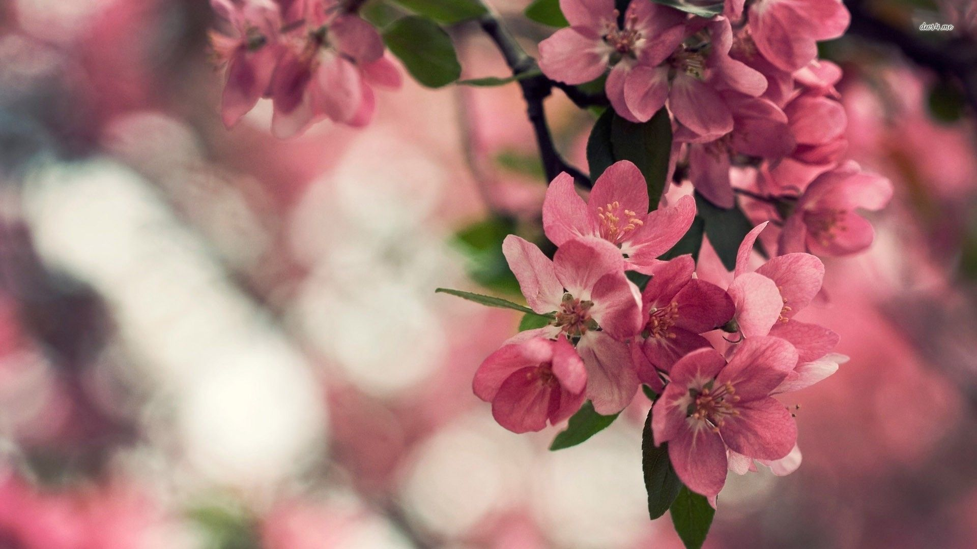 Cherry Blossoms - Yahoo Image Search Results | Trees | Pinterest ...