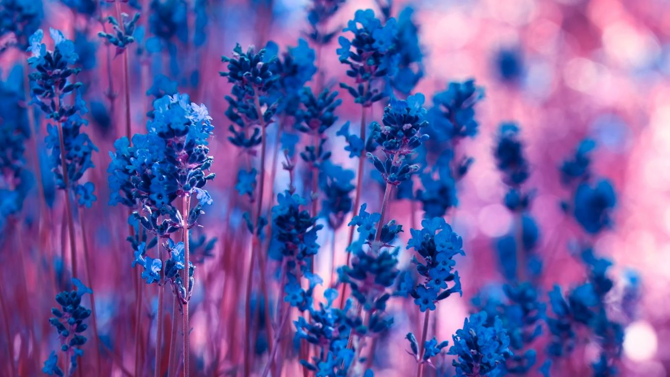 Download Violet Lavender Flowers Wallpaper | WallpapersByte
