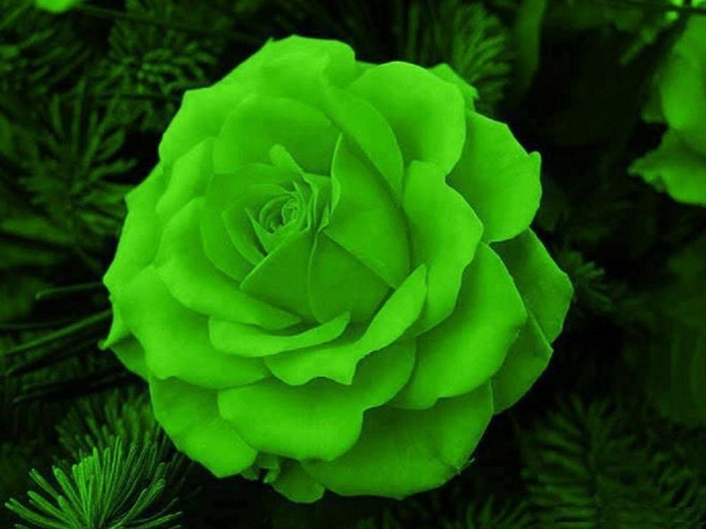 Flower: Green Rose Nature Flower Wallpaper Desktop Full Size for HD ...