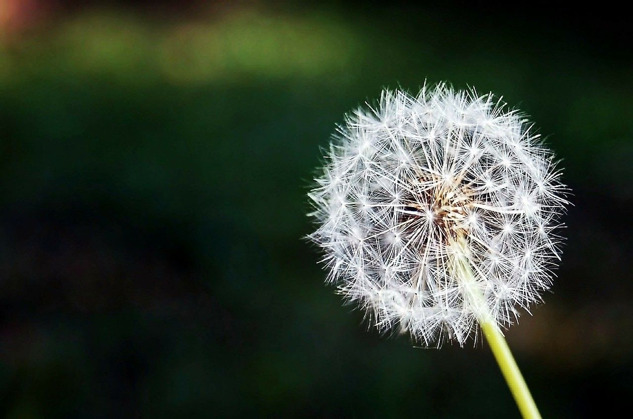 Flowers: Nature Dandelion Wish Flower Wallpaper Hd For Laptop for HD ...