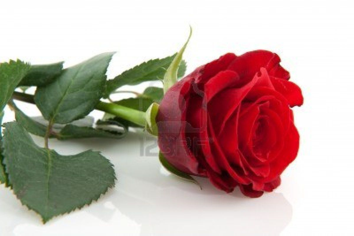 Beautiful Single Red Rose Wallpapers Group (50+)