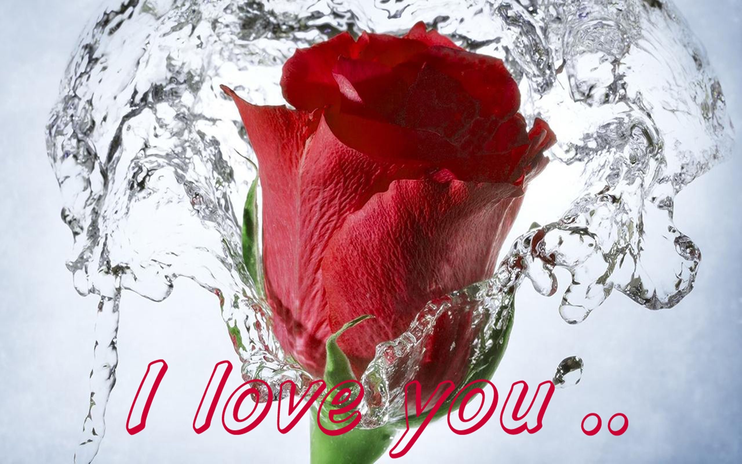 Red Rose Love Message I Love You 077 : Wallpapers13.com