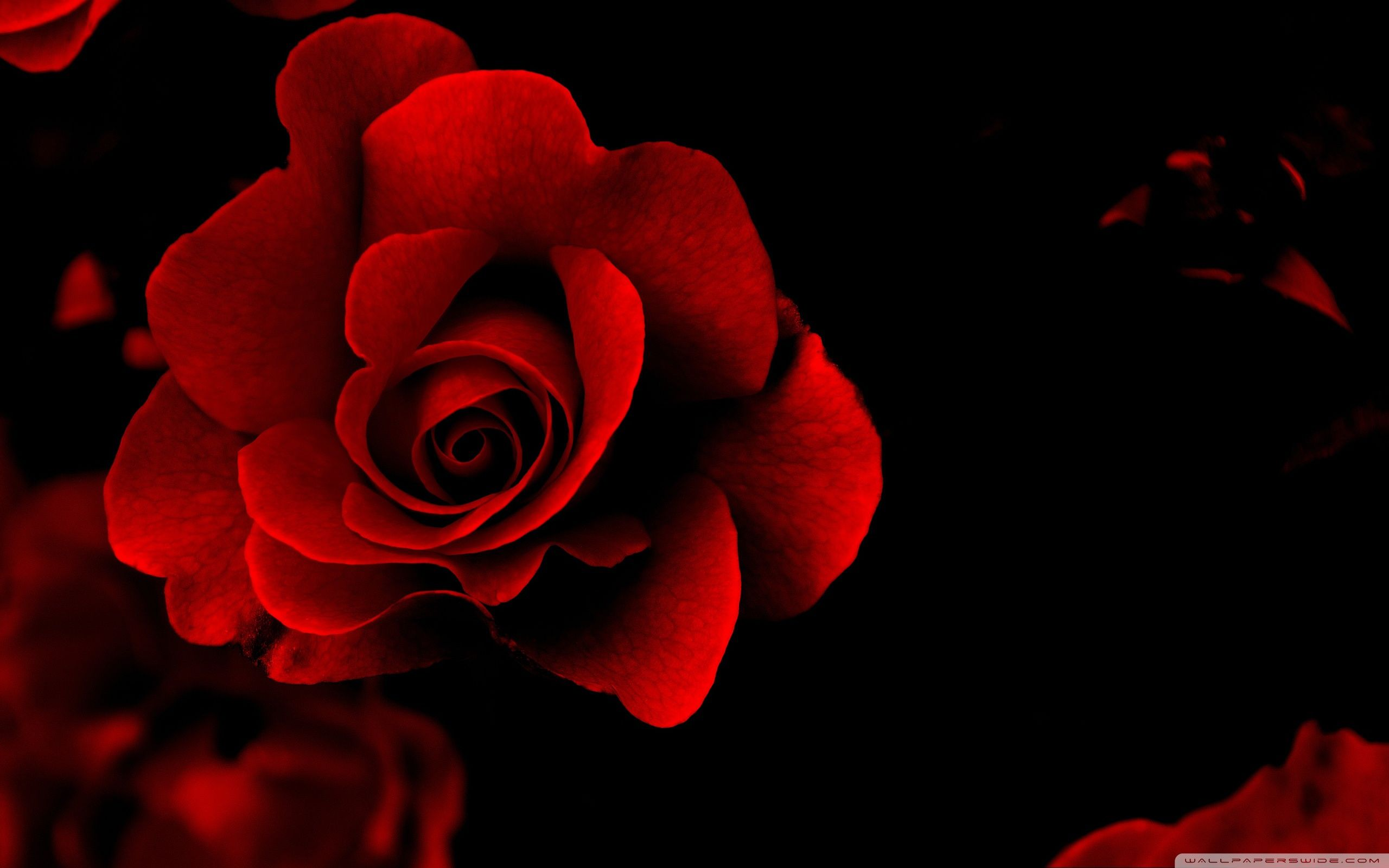 Red Flower Wallpaper Love Wallpaper | FlowerHDWallpaper | COLOR: Red ...