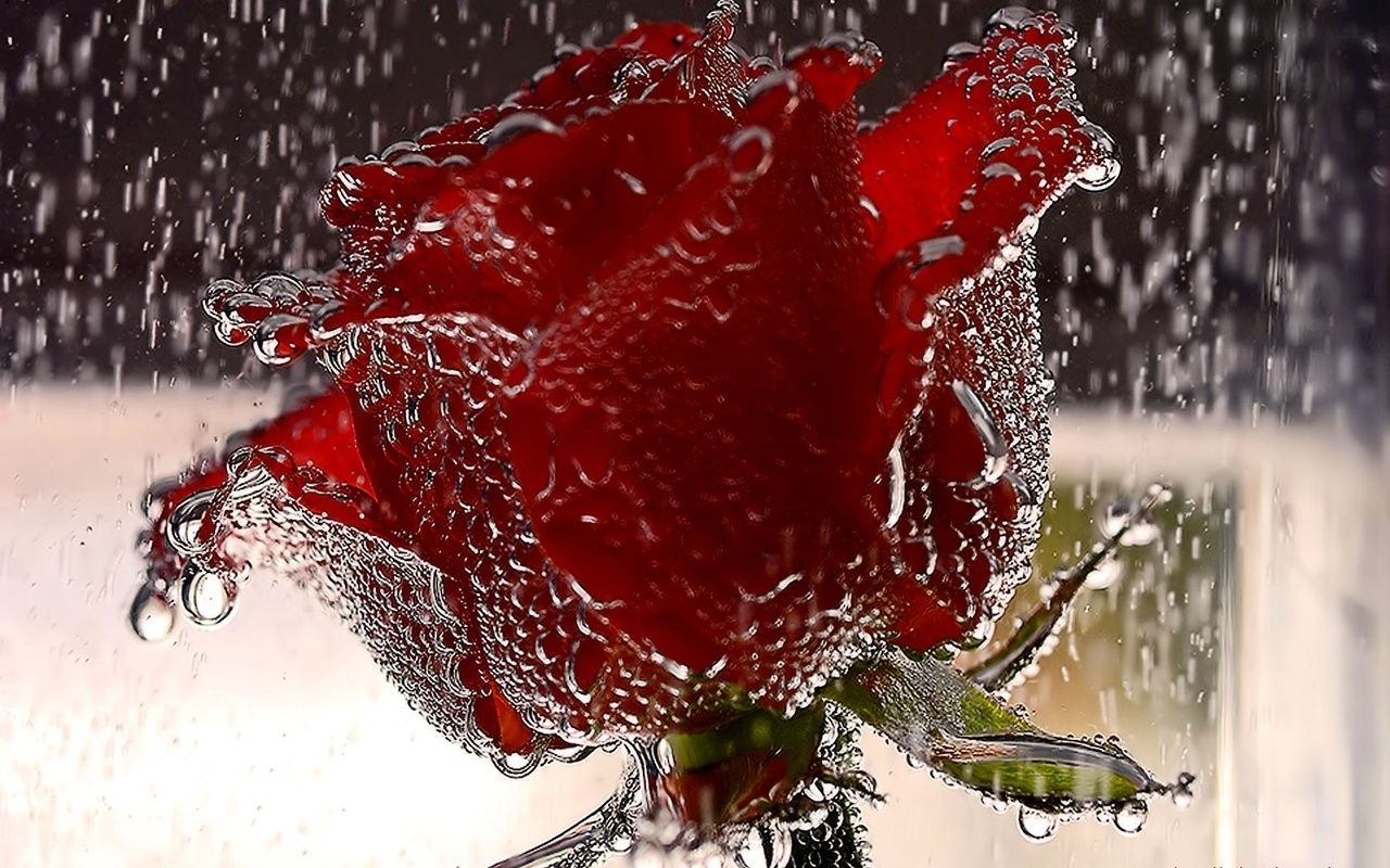 red roses, most popular rose, rose wallpapers, beautiful rose, red ...