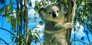 Koala Wallpapers Wallpaper Cave.jpg