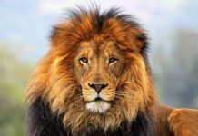 Lion Wallpapers Wallpaper Cave.jpg