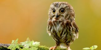 Owl Wallpapers Wallpaper Cave.jpg