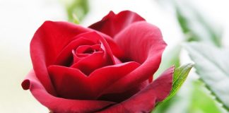 Roja Flower Wallpapers.jpg