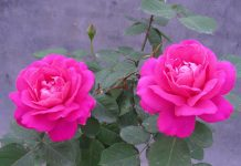 Rose Flowers Hd Wallpapers.jpg