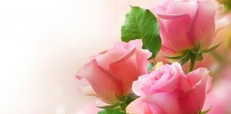 Rose Love Flower Wallpapers.jpg
