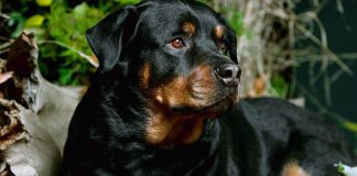 Rottweiler Wallpapers Wallpaper Cave.jpg