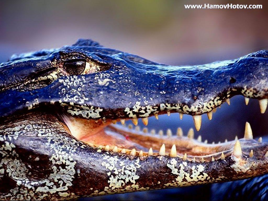 Wallpapers DB: alligator wallpapers