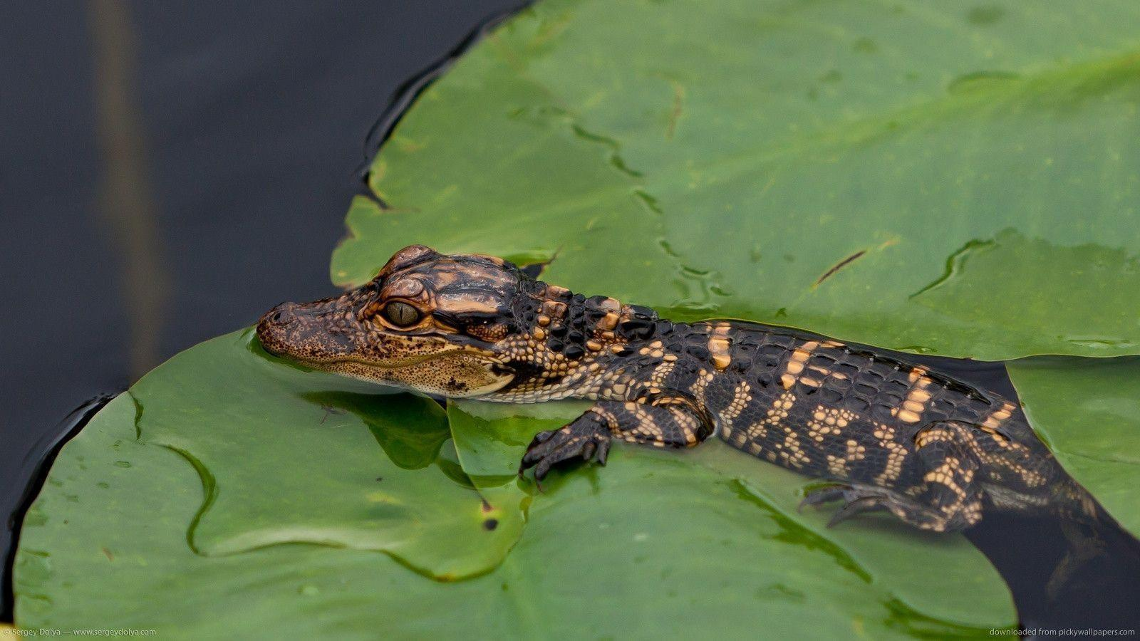 Download 1600x900 Small Alligator Wallpapers