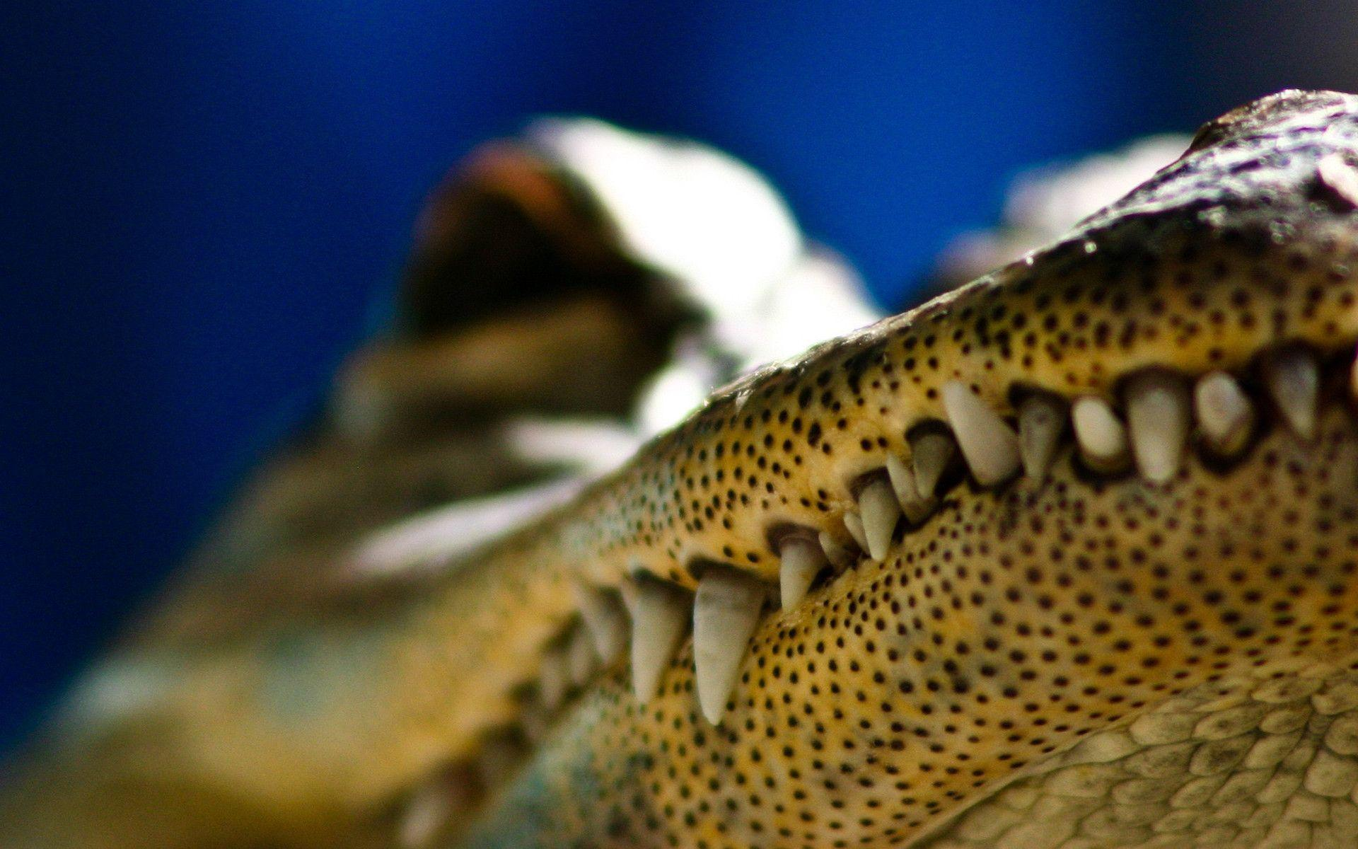 Reptile alligator wallpapers animals everglades wallpapers
