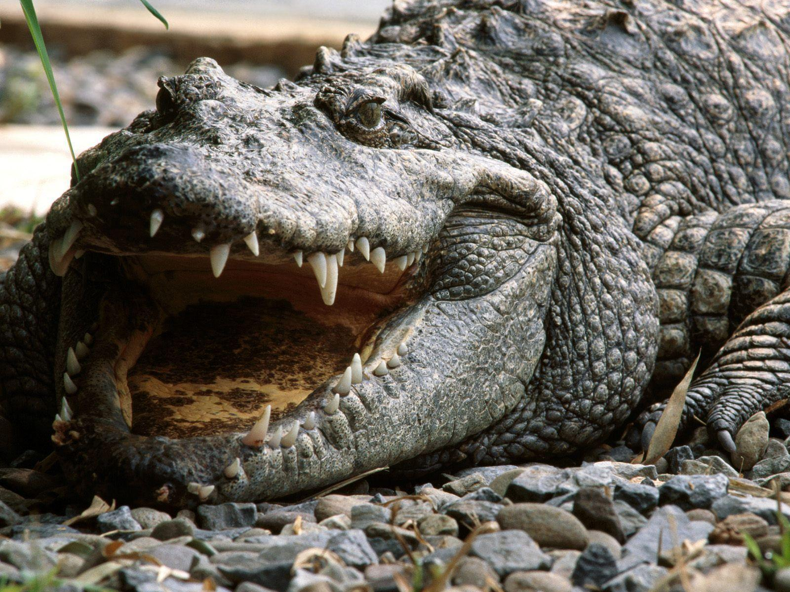 Alligator Wallpapers Full Hd Wallpapers Search Animal Picture