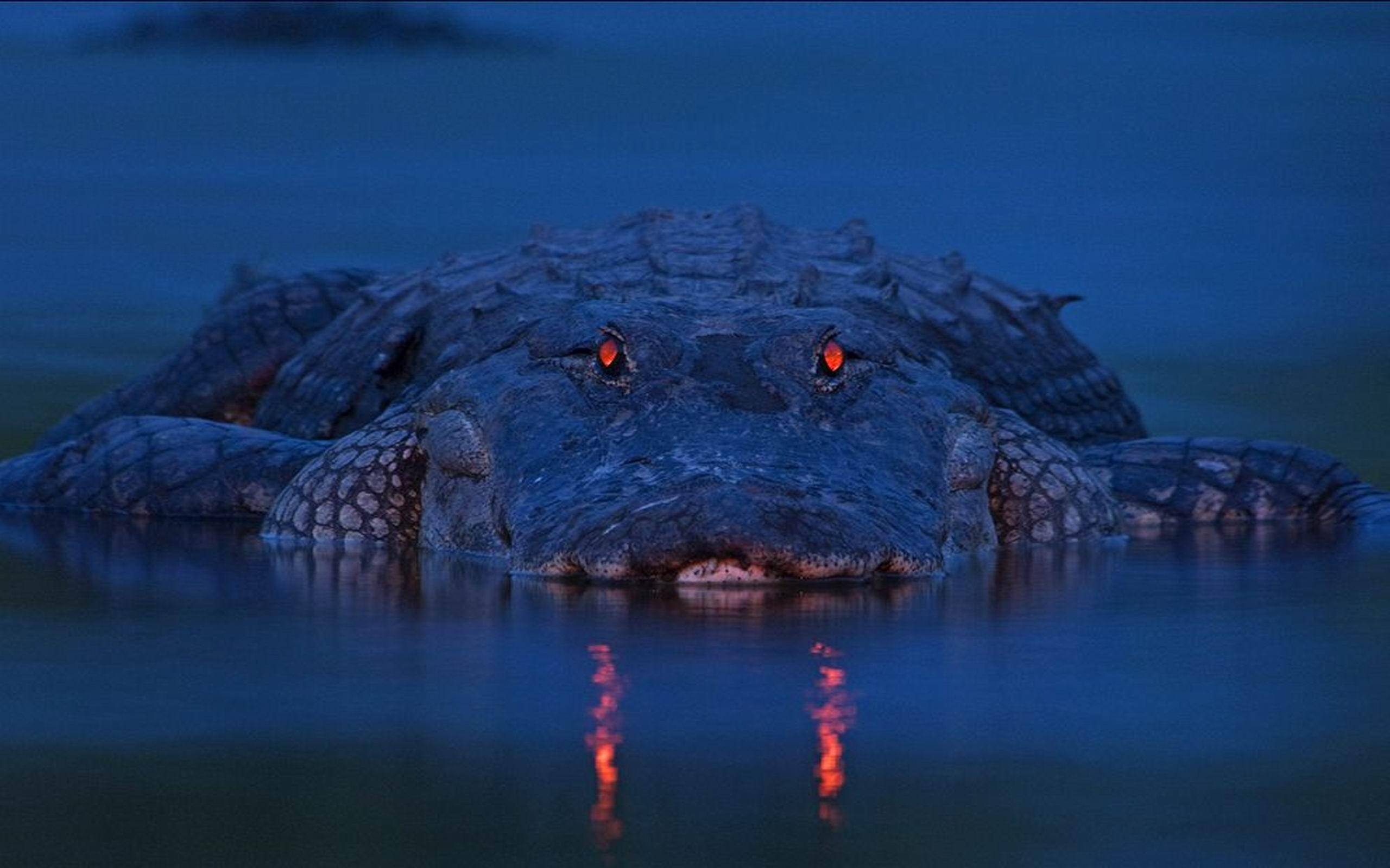 Alligator Wallpapers 21671 2560x1600 px