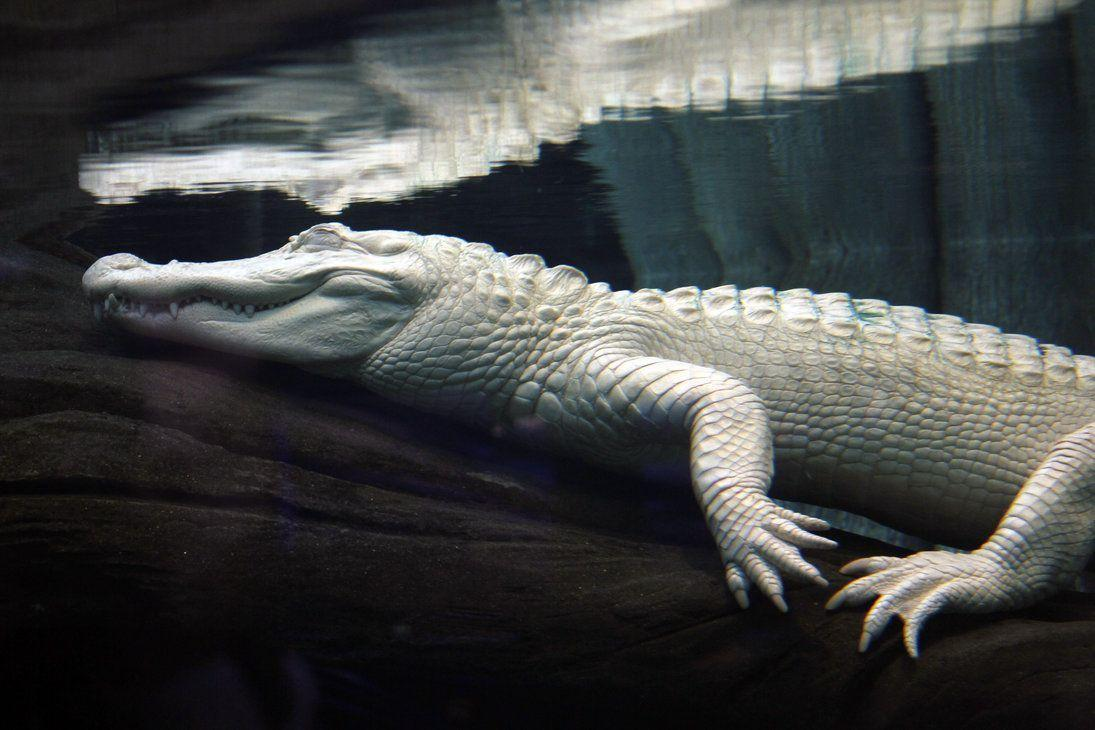 Leucistic alligator Image HD Wallpapers Download Logo And Photo