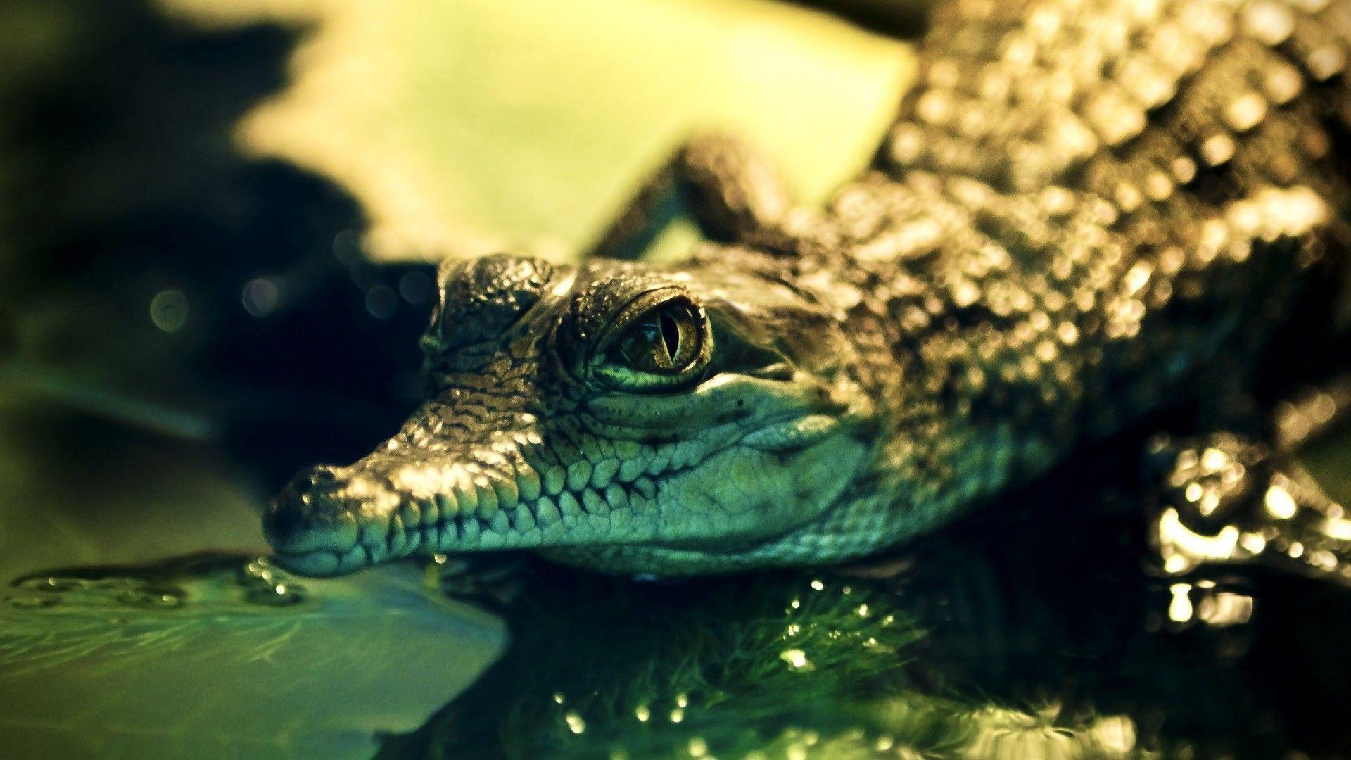 Nice Alligator HD Wallpapers Download Logo And Photo Cookies
