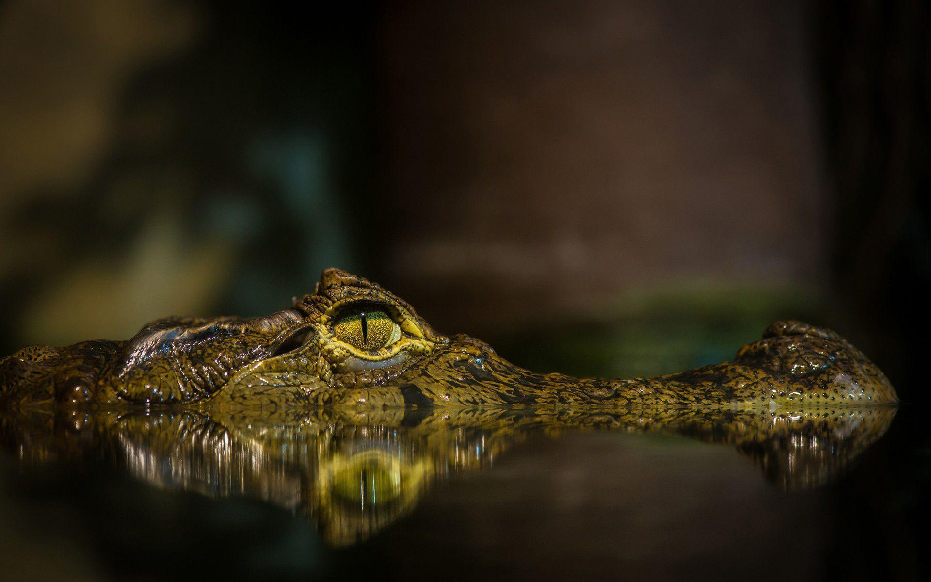 Alligator HD Wallpapers 21675 1920x1200 px