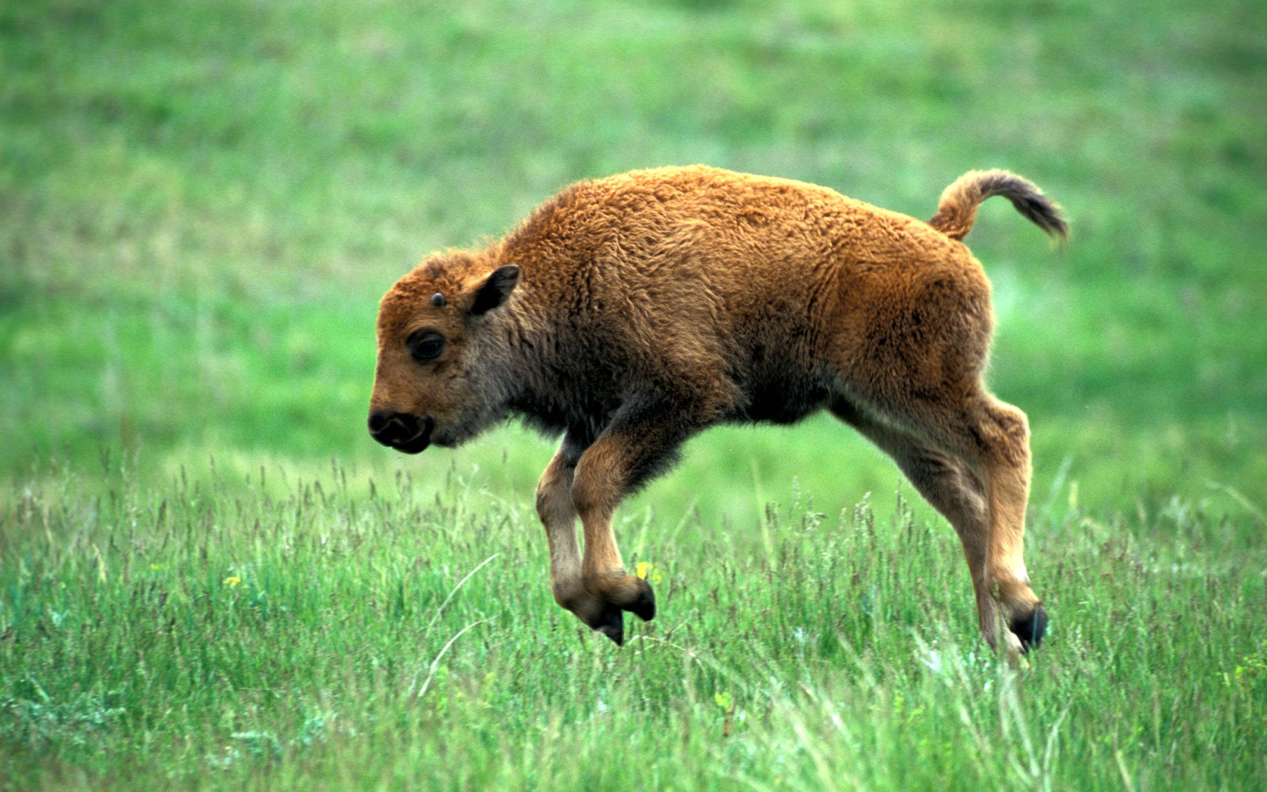 Bison TheWallpapers