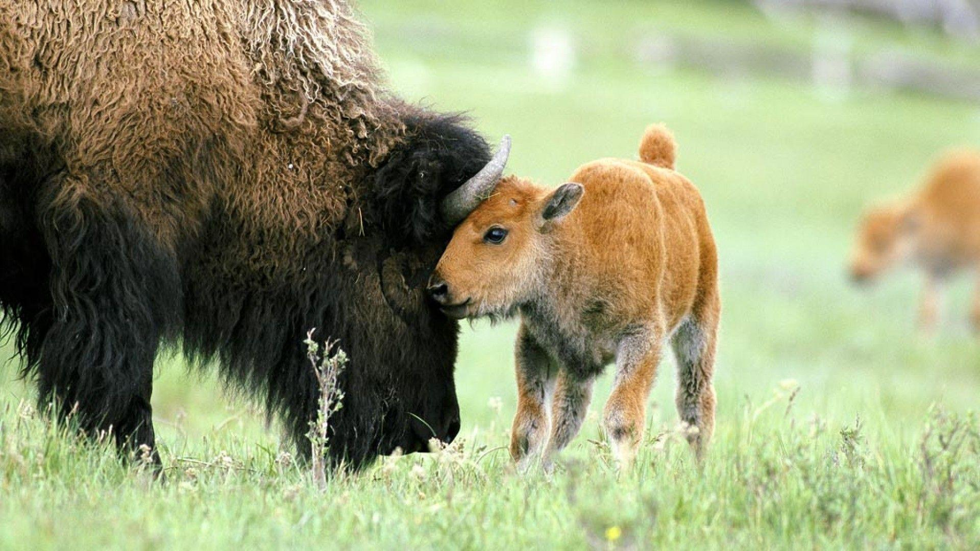 American bison baby wallpapers