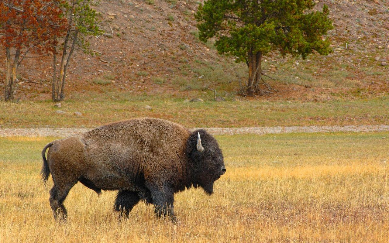 HD Wallpapers: 1280x800 » Animals » Bison In The Field HD Free