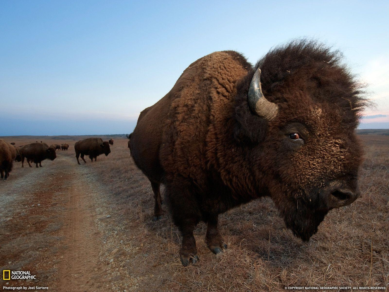 Bison Photo, Animal Migration Wallpapers – National Geographic