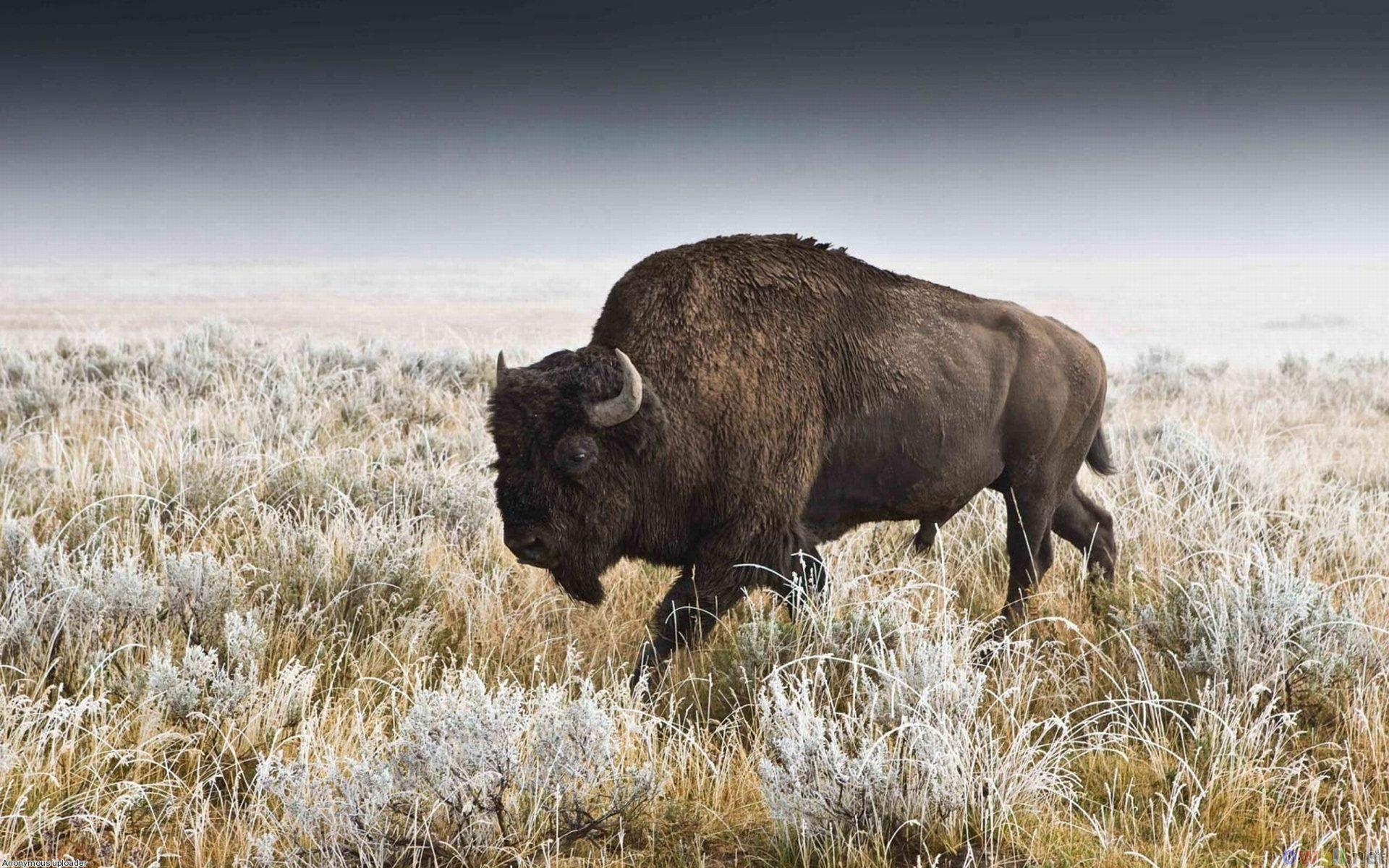 Pix For > American Bison Wallpapers