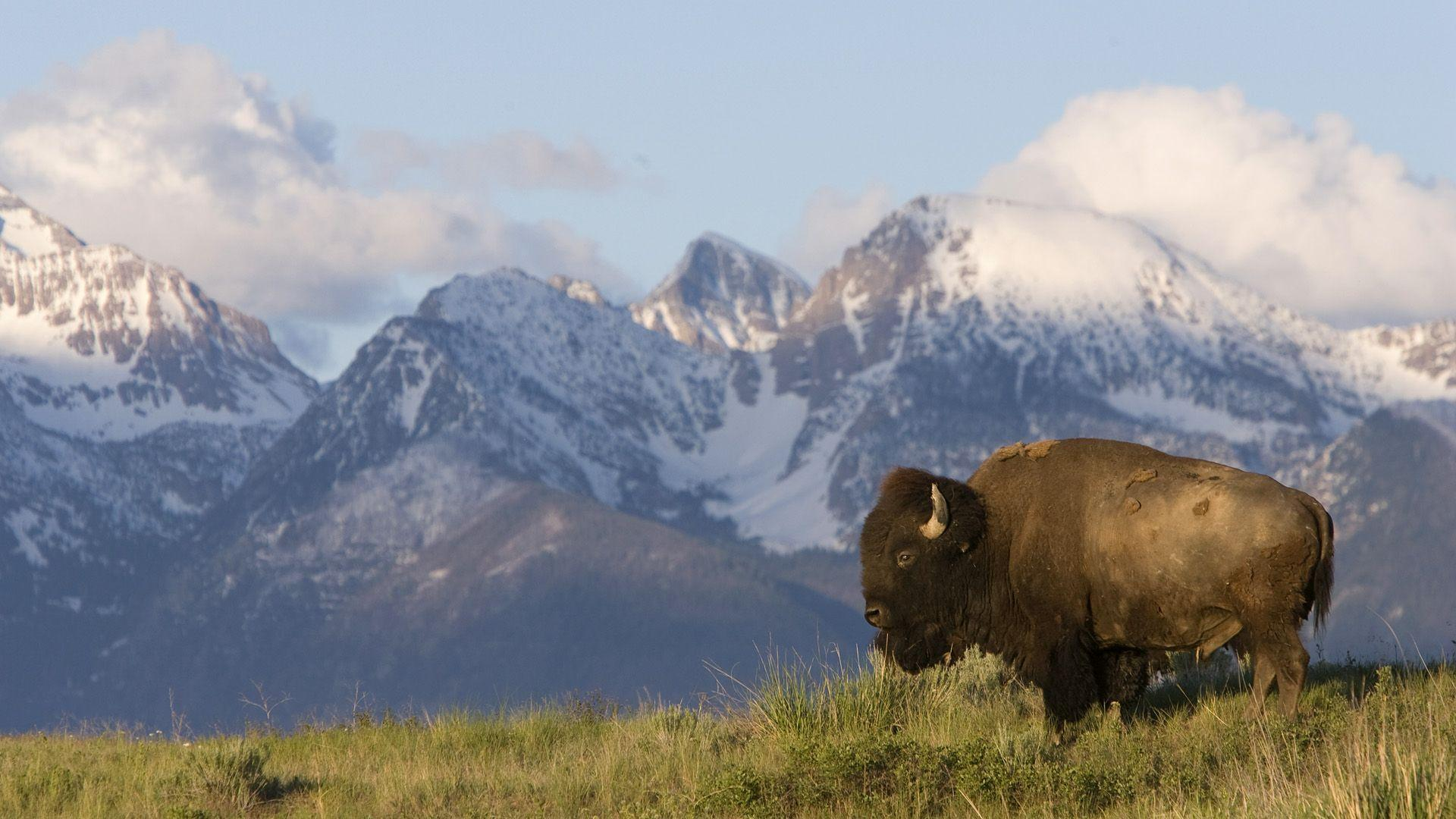 Bison Wallpapers HD 30865 1920x1080 px ~ HDWallSource