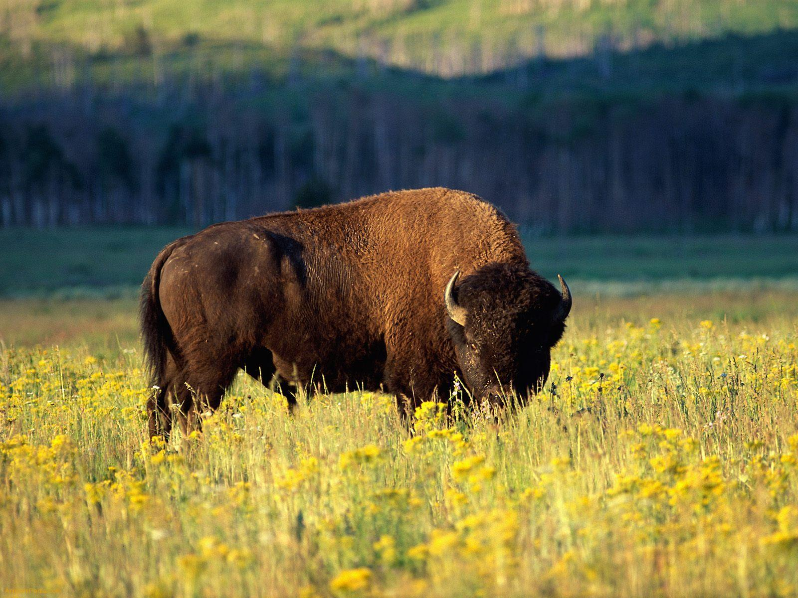 Bison Wallpapers 30863 1600x1200 px ~ HDWallSource