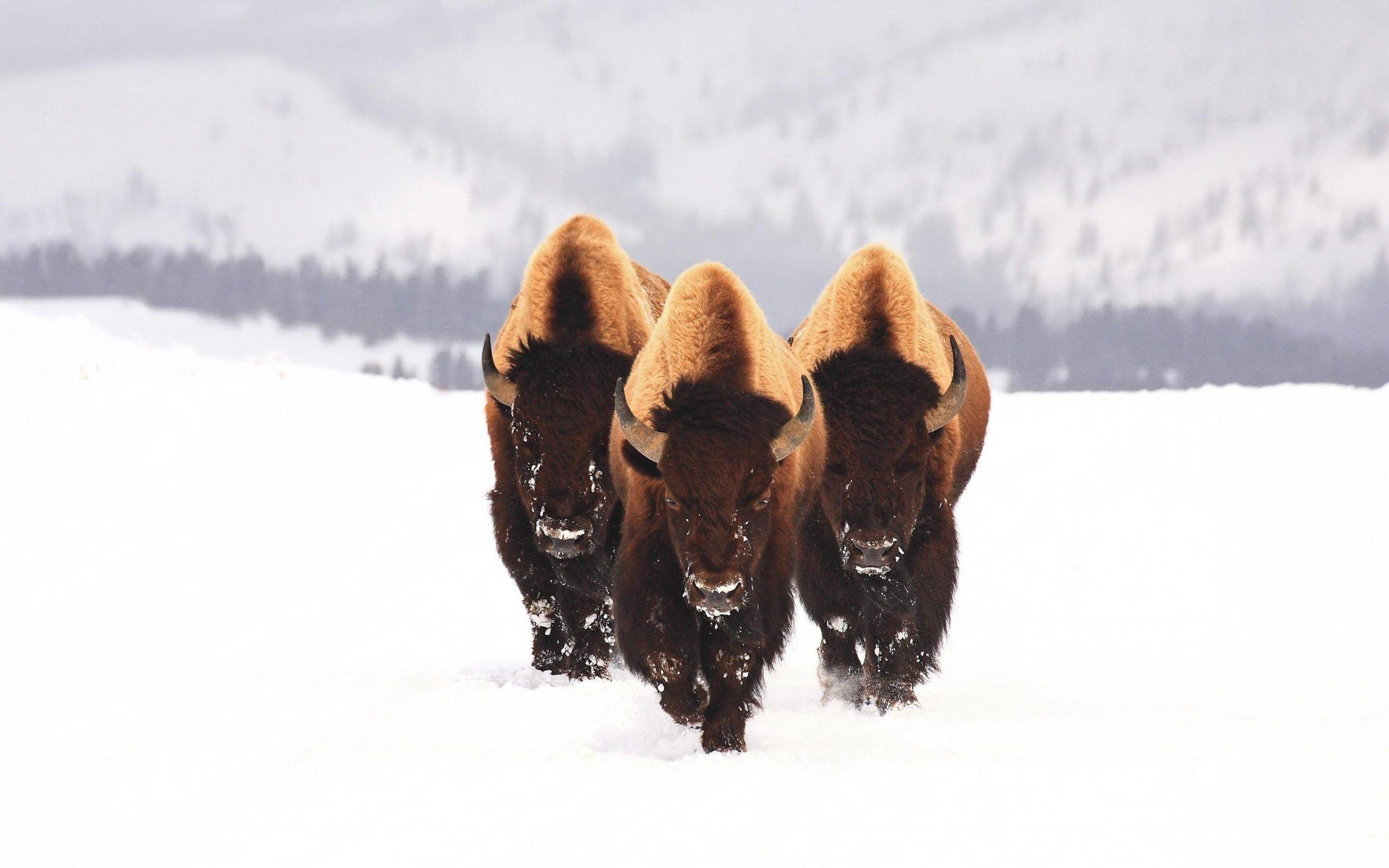 Image For > American Bison Wallpapers
