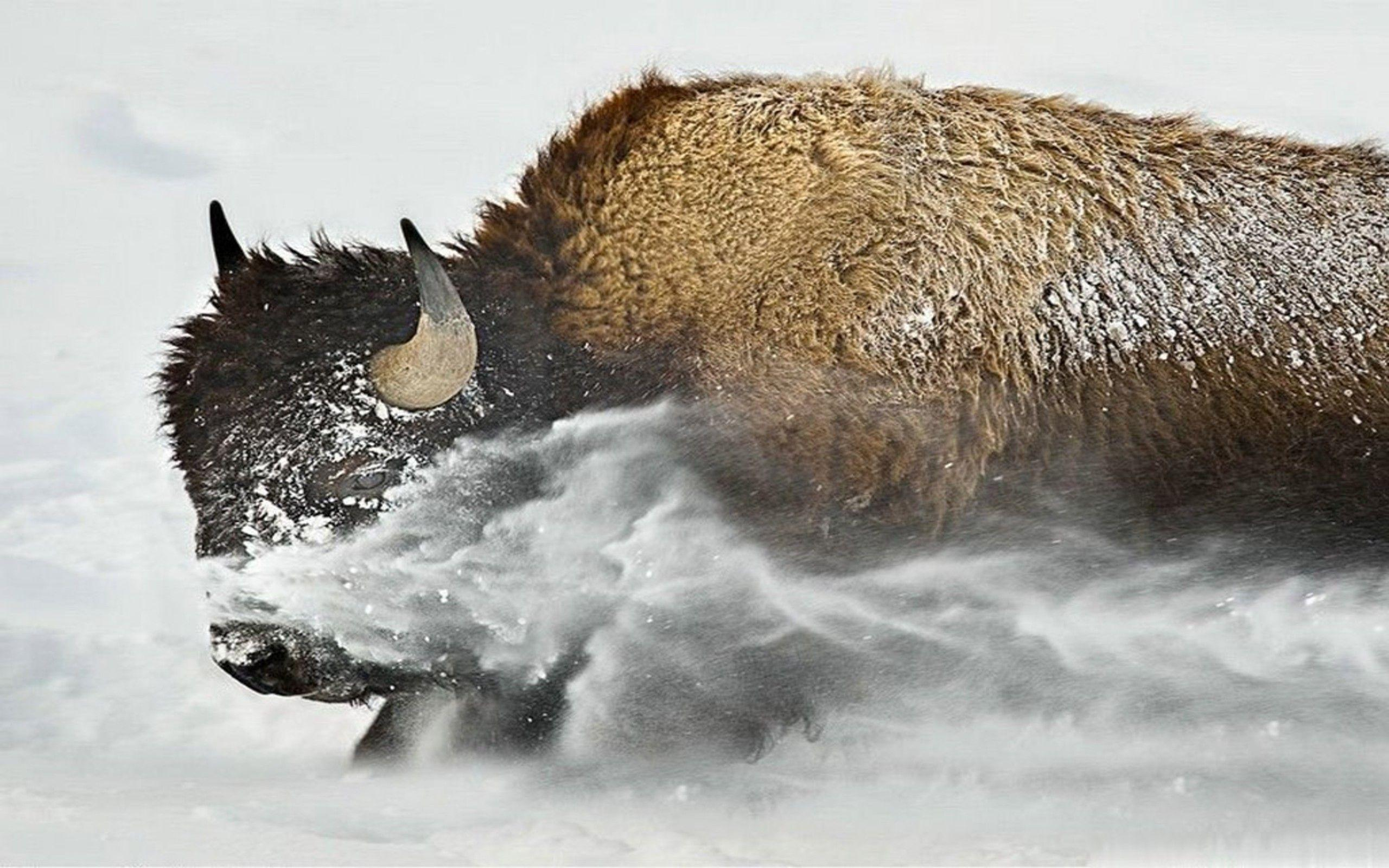 Buffaloes High Definitions Wallpapers free picture