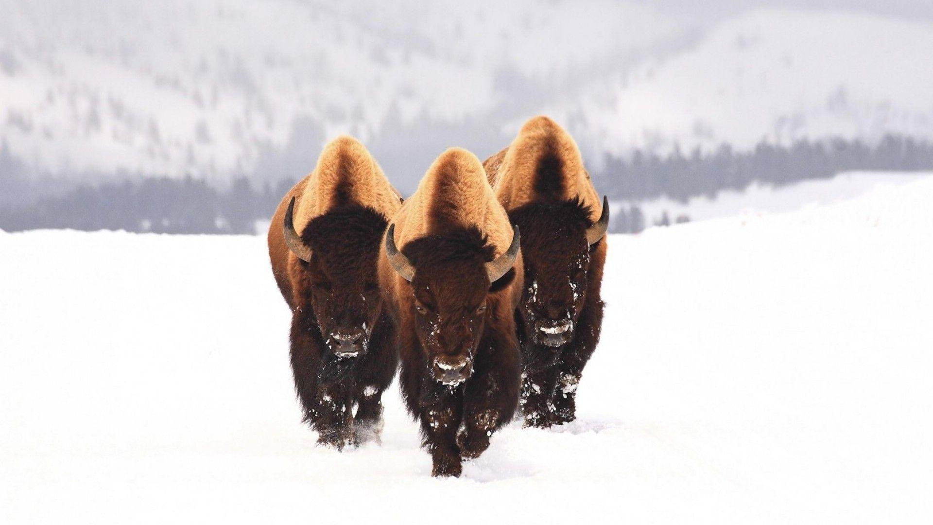 HD Wallpapers: 1920x1080 » Animals » bison snow animals winter