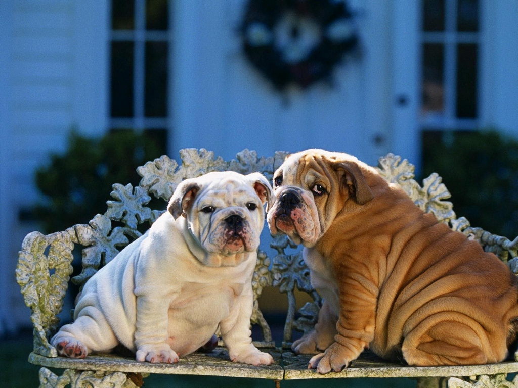 Download wallpapers 1024x768 bulldogs, couple, bench, design, sitting