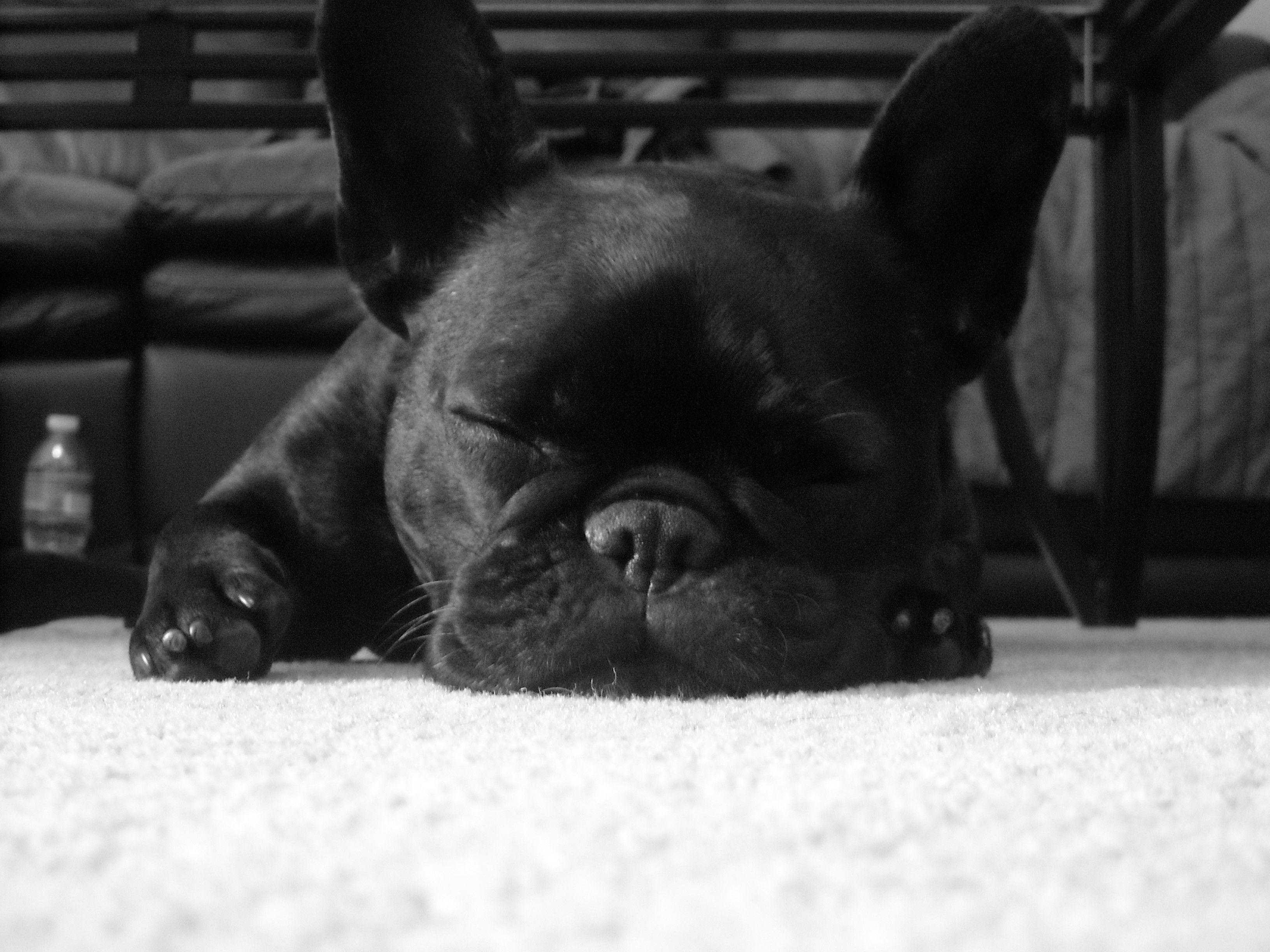 61 French Bulldog HD Wallpapers