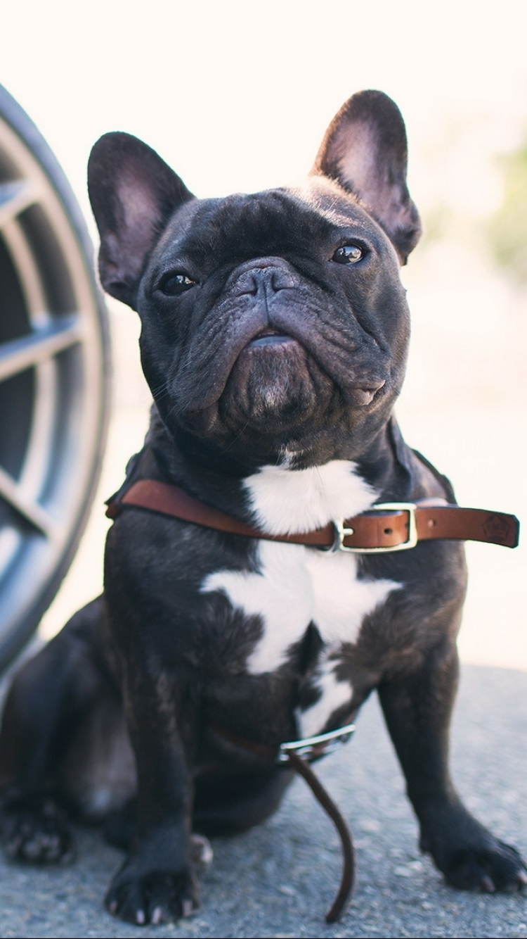 Awesome French Bulldogs Wallpapers in HD Quality
