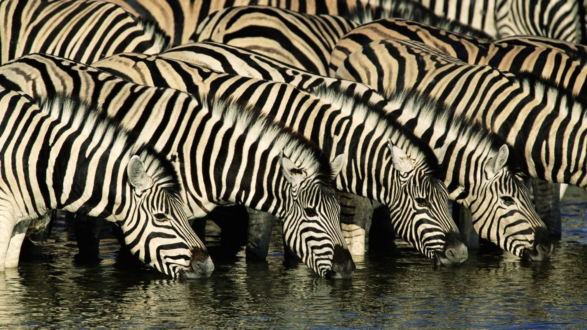 Zebra Wallpapers, Pictures, Image