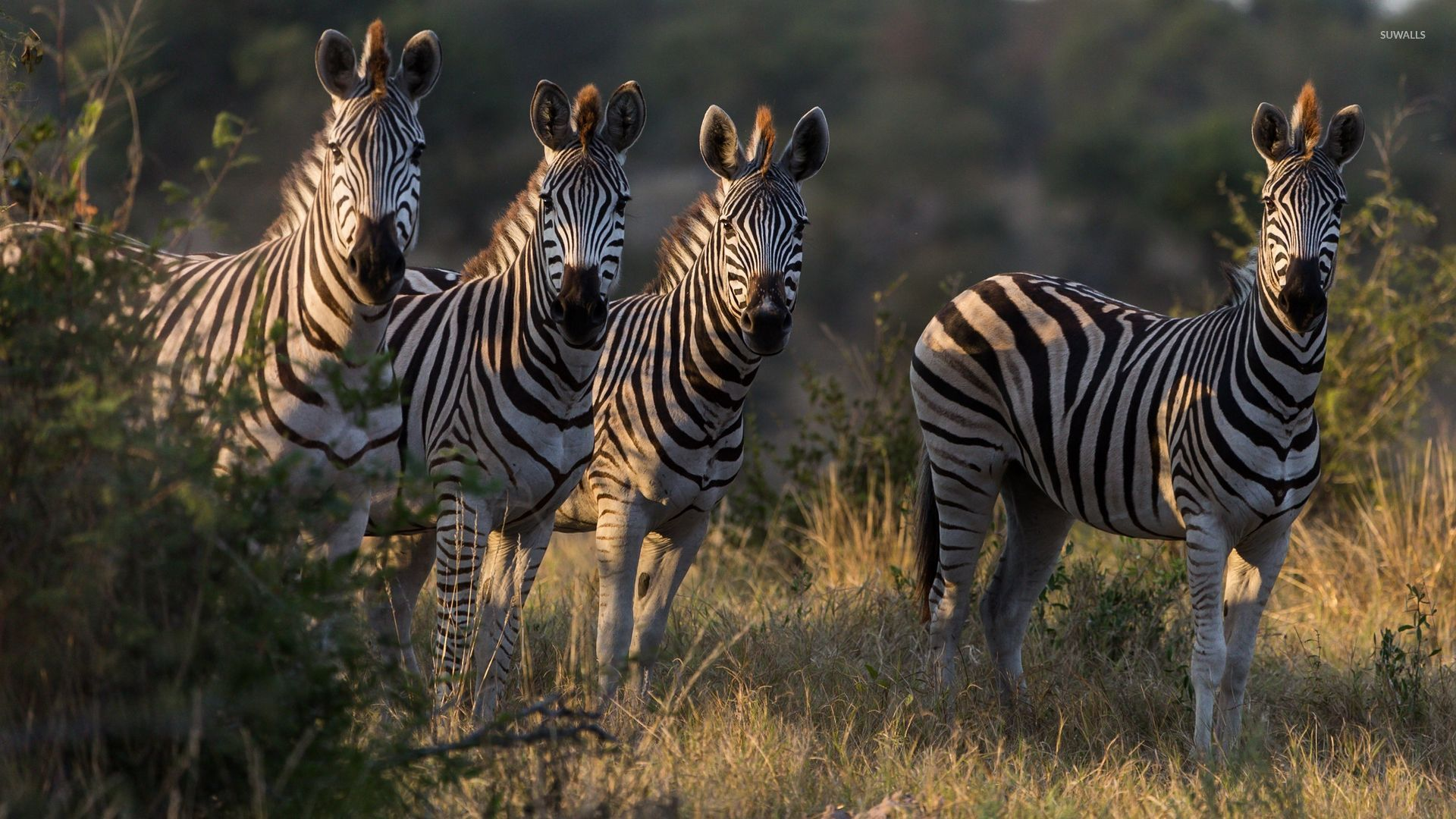 Zebras drinking water from the river wallpapers