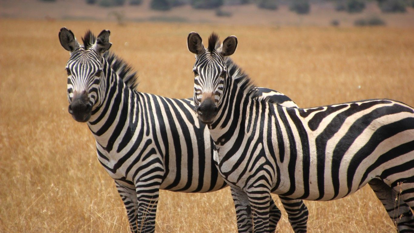 Two Cute Zebras Animal Wallpapers Hd : Wallpapers13