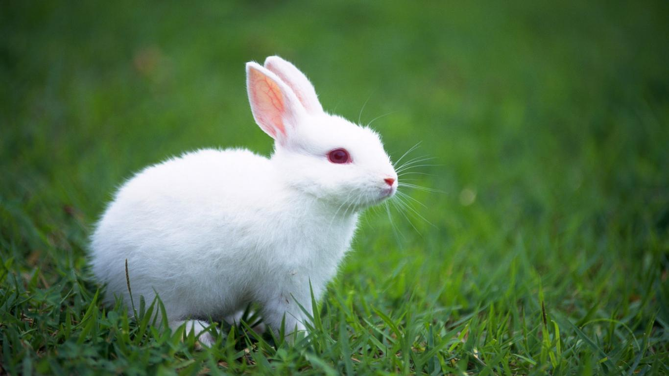 White Rabbit Cute Wallpapers
