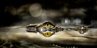Alligator Wallpapers Wallpaper Cave.jpg