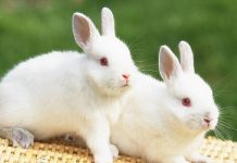 Cute White Baby Rabbits Wallpapers.jpg