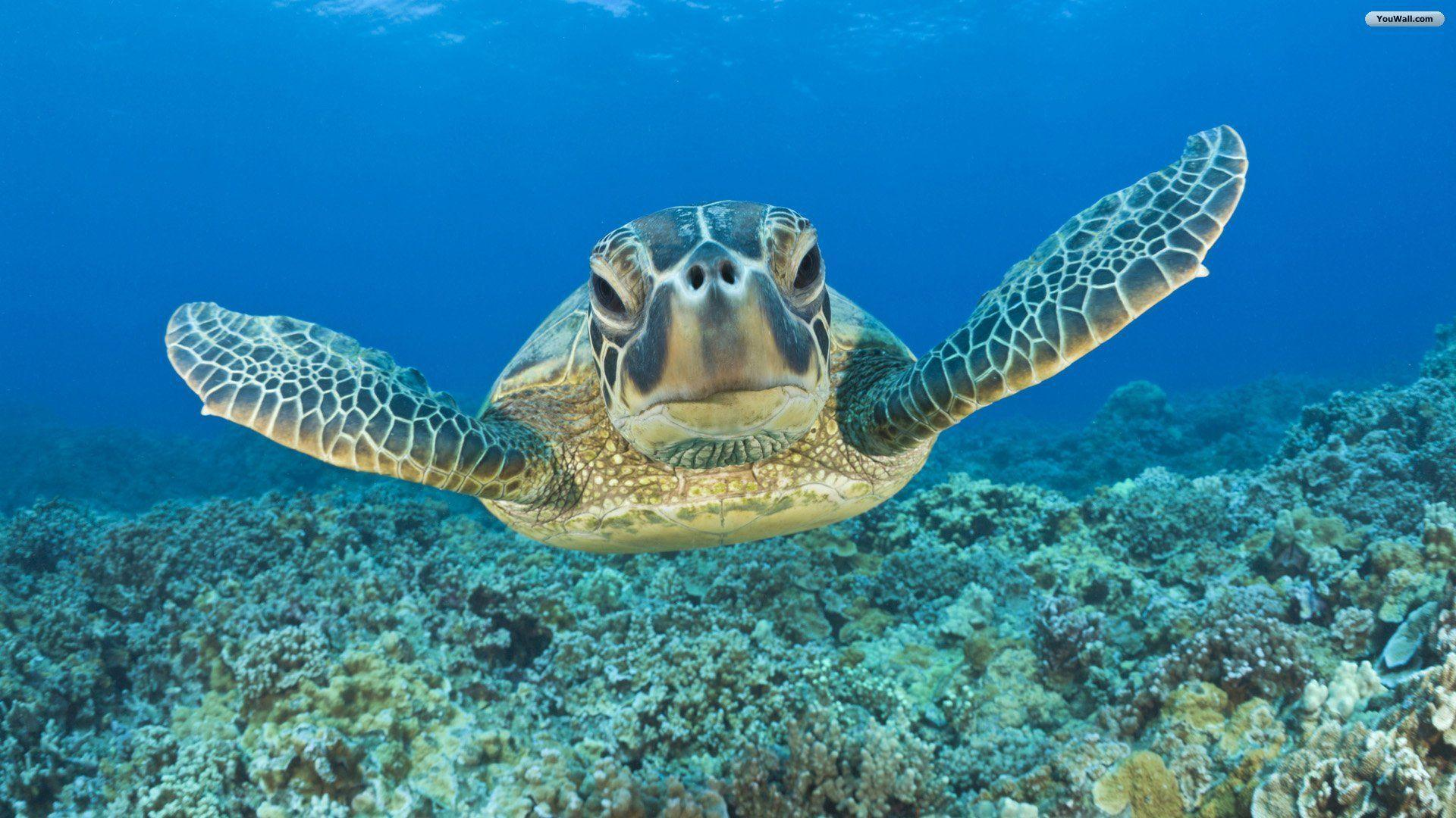 Animal Underwater Turtle