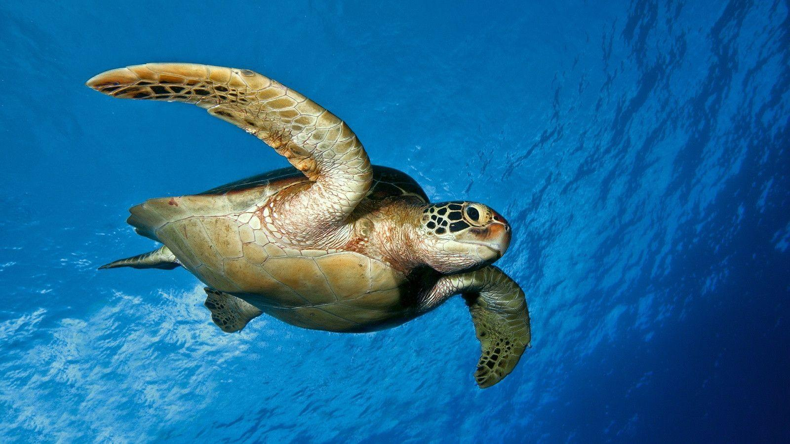 1600x900 Turtle backgrounds Wallpapers