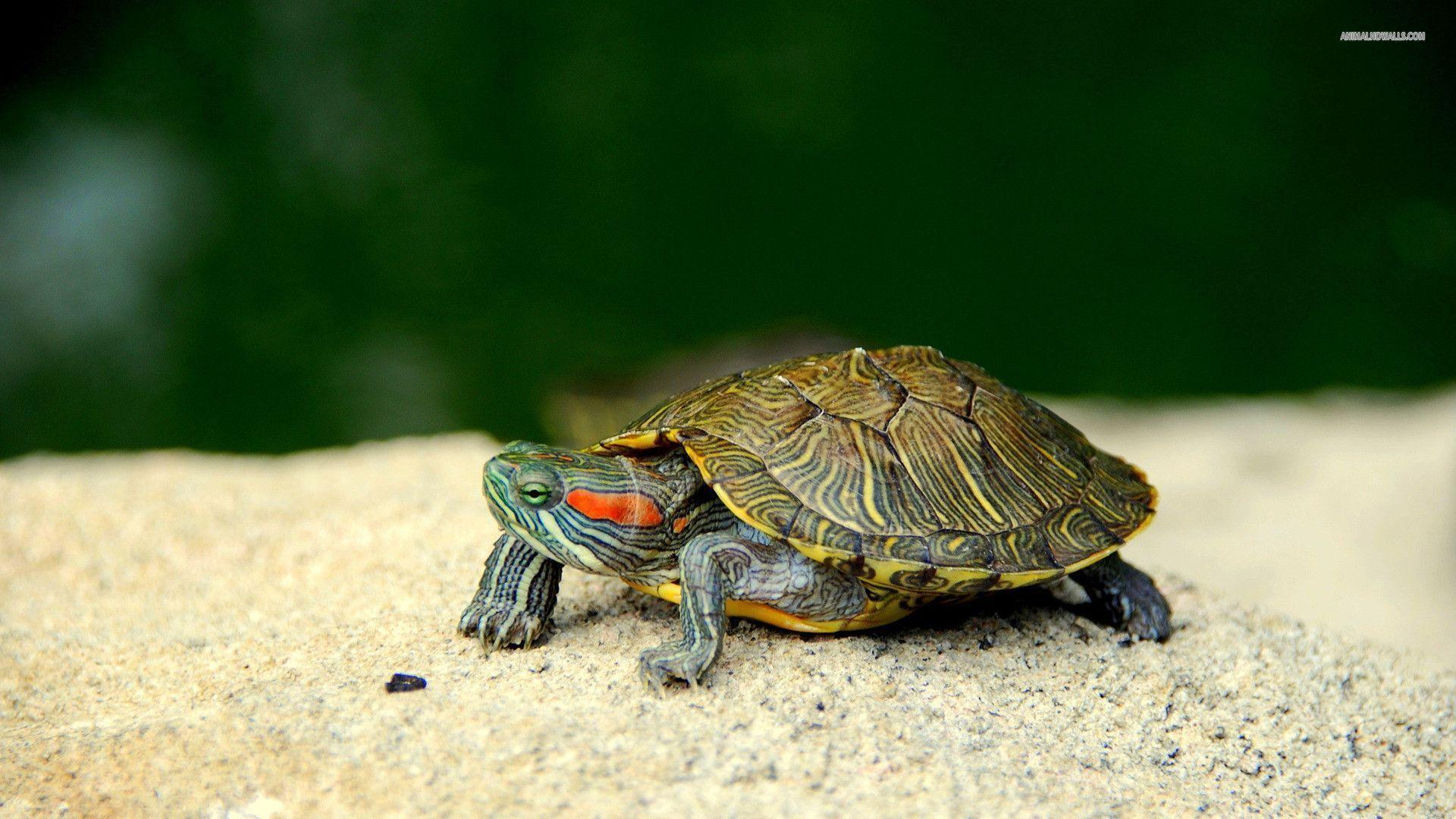 Turtle wallpapers #